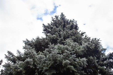 crone: Crone of the Colorado blue spruce against the cloudy sky background