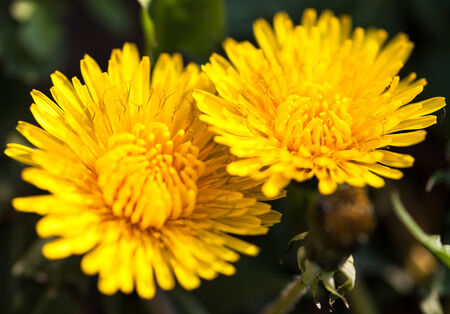 anthesis: Closeup of two blooming yellow dandelion flowers. Stock Photo