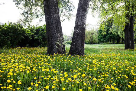 Trunks of trees surrounded by blooming yellow dandelions photo