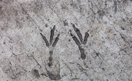 hardened: Bird footprints hardened on the concrete surface Stock Photo
