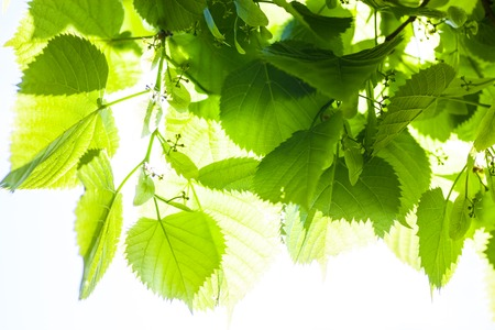 Bright green leaves and tiny flower buds of the lime tree in the sunshine.