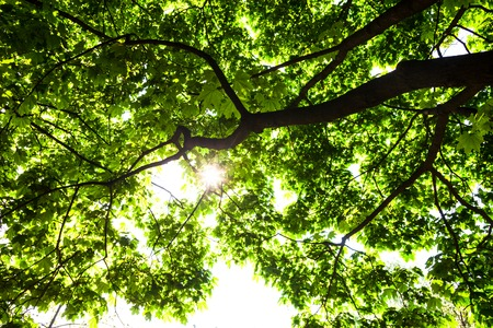aceraceae: Silhouette of green maple tree against the shining sun.