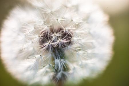 globular: Globular head of seeds with downy tufts of the dandelion flower
