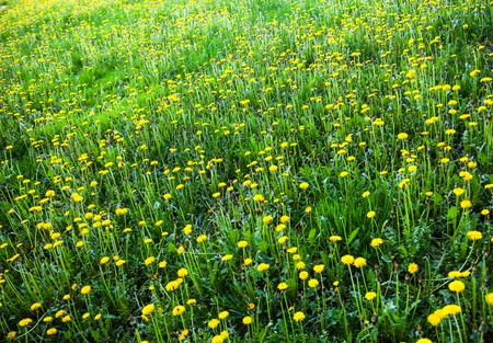 anthesis: Meadow with lots of blooming yellow dandelions Stock Photo