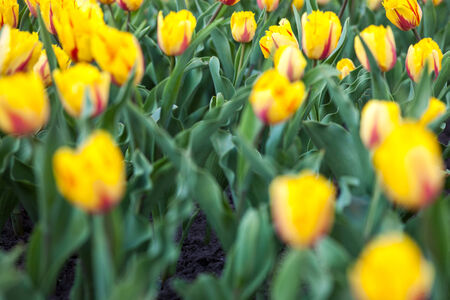 showy: Flowerbed with lots of blooming yellow tulips Stock Photo