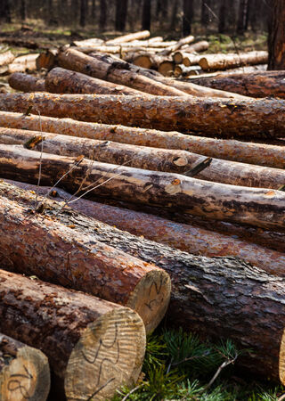Pile of cut pine logs in the forest. photo