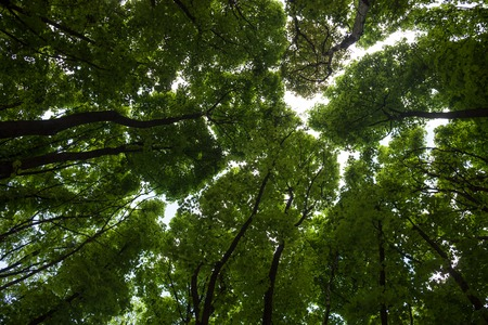 aceraceae: Silhouettes of green maple treetops against the sky. Stock Photo