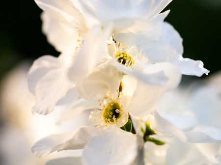 anthesis: Close up of the pear tree flowers.