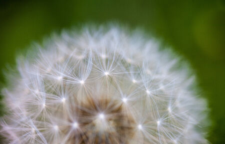Globular head of seeds with downy tufts of the dandelion flower photo