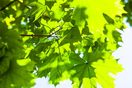 aceraceae: Bright green leaves of the maple tree in the sunshine. Stock Photo