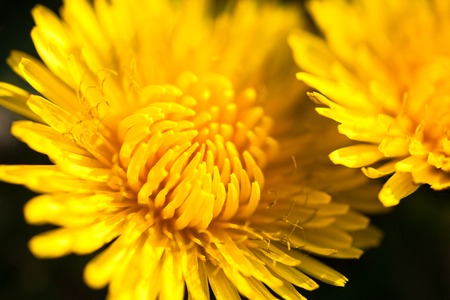 wild flowers: Closeup of two blooming yellow dandelion flowers. Stock Photo