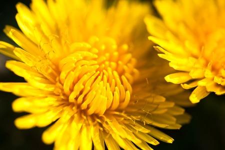 campo de flores: Primer plano de dos flores de diente de le�n en flor amarillo. Foto de archivo