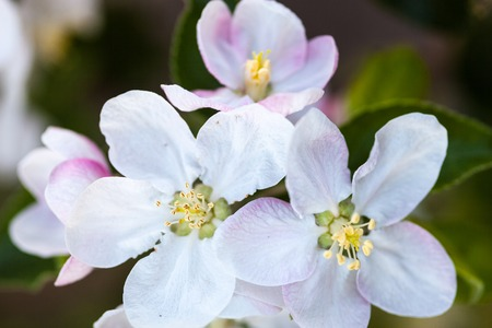 anthesis: Close up of the apple tree flowers.