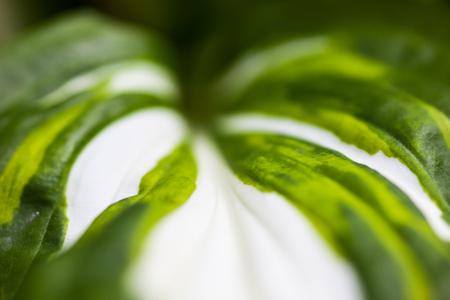 hostas: Close up of the hosta green-white leaf