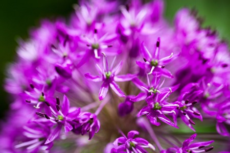 Close up of the blooming purple ornamental onion (Allium) photo