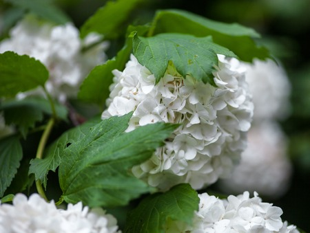 Close up of the guelder rose white flowers. photo