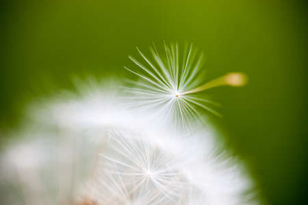 Closeup of the seeds of the dandelion flower. photo