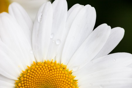 oxeye: Closeup of the blooming oxeye daisy (Leucanthemum vulgare) with dewdrops