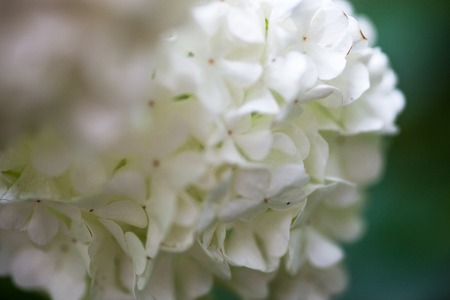 guelder: Close up of the guelder rose white flowers.