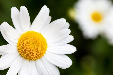 Closeup of the blooming oxeye daisy (Leucanthemum vulgare) Standard-Bild