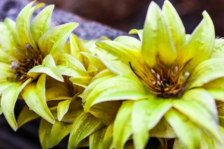 weatherworn: Old artificial flowers with faded yellow petals close up.