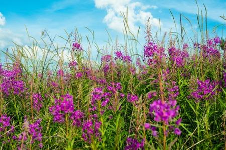fireweed: Pink flowers of fireweed (Epilobium or Chamerion angustifolium)