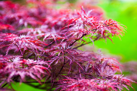 acer palmatum: Pink leaves of the Japanese maple (Acer palmatum)