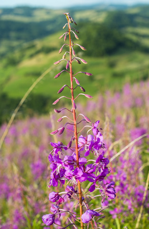 fireweed: Pink flowers of fireweed in Carpathian mountains