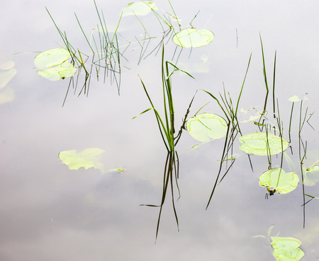 waterweed: Water surface with lily pads and young reed stems.