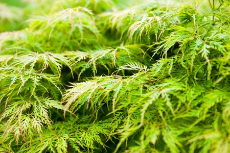 acer palmatum: Green leaves of the Japanese maple (Acer palmatum) Stock Photo