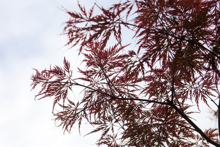 acer palmatum: Pink leaves on the branches of the Japanese maple (Acer palmatum) Stock Photo