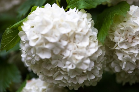 guelder rose: Close up of the guelder rose white flowers.