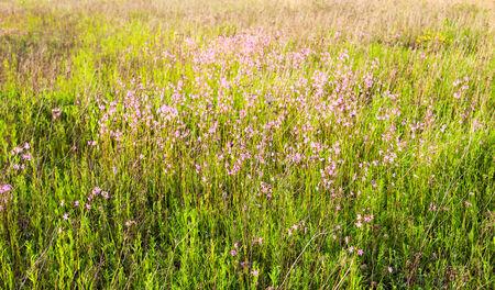 Ragged Robin (Lychnis flos-cuculi) flowers in the green summer meadow