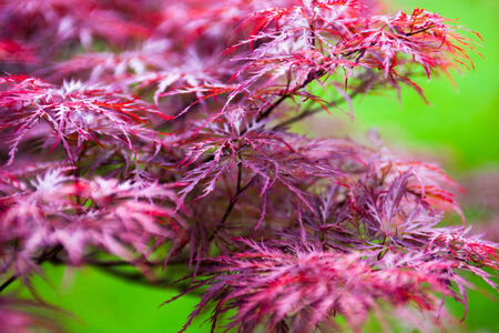 bush fire: Pink leaves of the Japanese maple Stock Photo