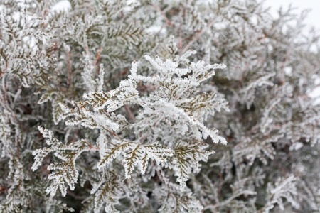 hoarfrost: Coniferous branches covered with hoarfrost. Close up.