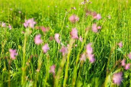 ragged robin: Ragged Robin (Lychnis flos-cuculi) flowers in the green summer meadow