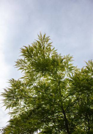 acer palmatum: Green leaves on the branches of the Japanese maple (Acer palmatum)
