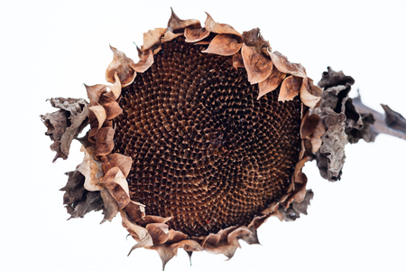 Withered sunflower head without seeds in winter.