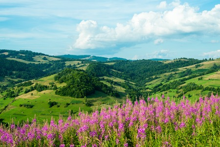 fireweed: Summer landscape in the Ukrainian Carpathians with blooming fireweed in the foreground.