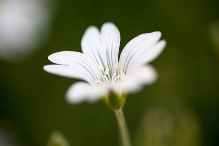chickweed: White flower of Stellaria (stitchwort or chickweed)