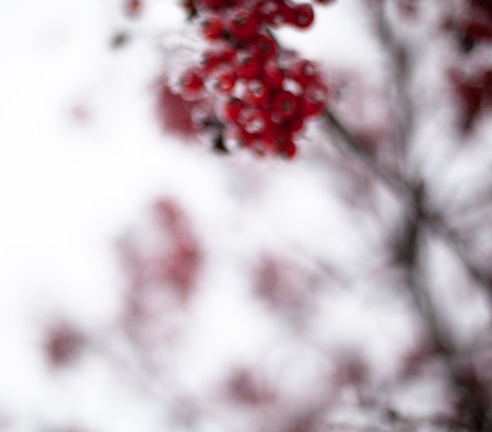 european rowan: Red rowan fruit covered with hoarfrost. Close up. Stock Photo