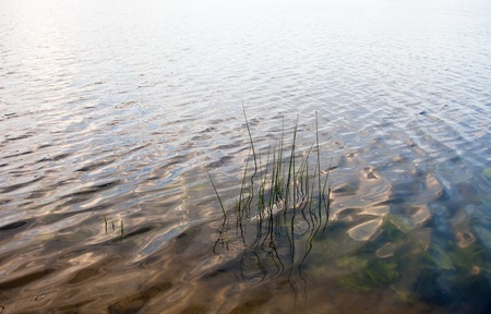 waterweed: Water surface near the bank with visible water plants and young reed stems. Stock Photo