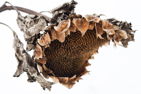 sapless: Withered sunflower head without seeds in winter.