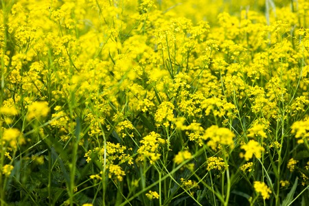 biodiesel plant: Yellow rapeseed flowers (Brassica napus). Close up.