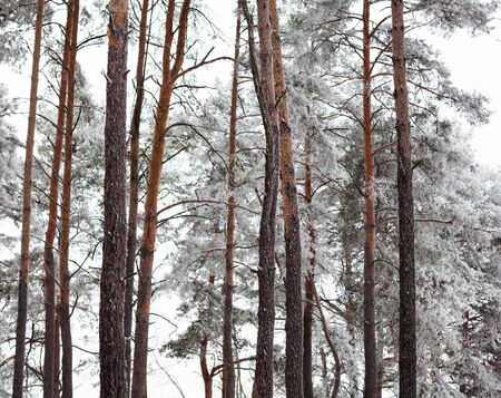 forest park: Pine forest covered with hoarfrost in the cloudy day.