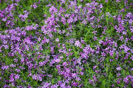 peaceful background: Blooming pink phloxes (Phlox subulata) in spring.