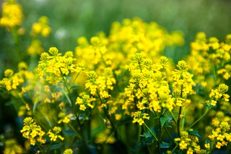 rappi: Yellow rapeseed flowers (Brassica napus). Close up.