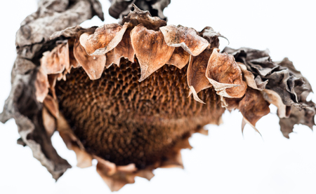 wilting: Withered sunflower head without seeds in winter.