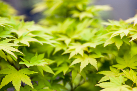 woody: Green leaves of the Japanese maple (Acer palmatum) Stock Photo