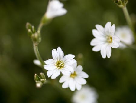 chickweed: White flowers of Stellaria (stitchwort or chickweed)